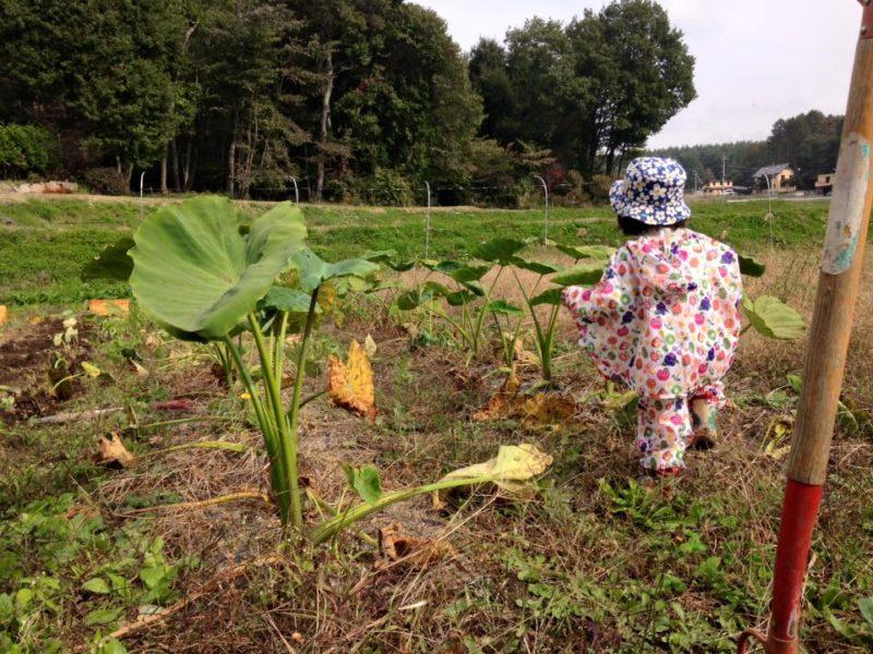 里芋畑と娘