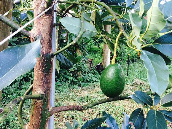 木になっている青々として大きいもじょか堂自社栽培のアボカド