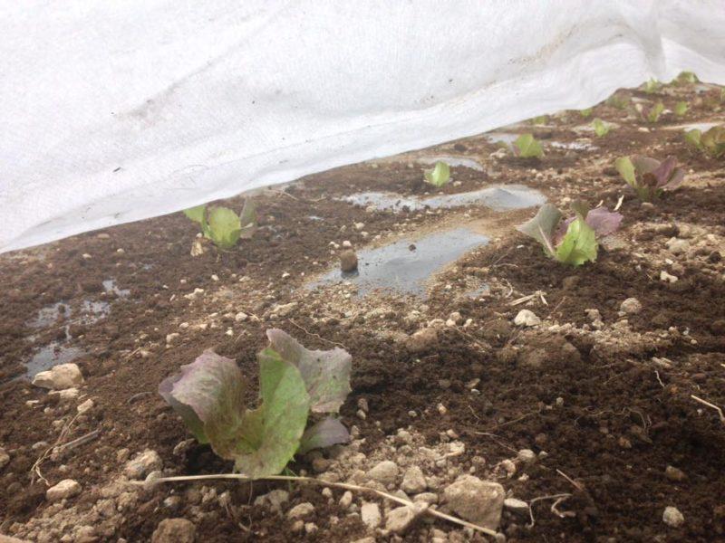 畑に植えられたレタスの苗