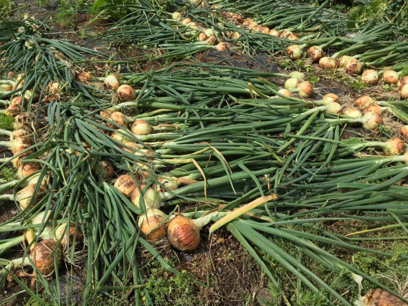 畑に並ぶ収穫したばかりの玉ねぎ