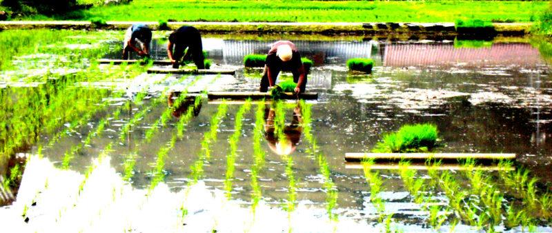 寺町畑ホームページより 田んぼで田植えをしている画像