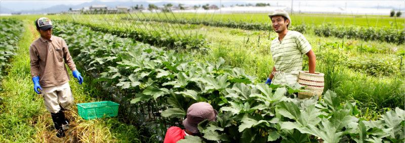 農園たやホームページより 広大な畑で野菜を収穫する生産者