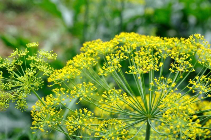 畑に咲いたフェンネルの花
