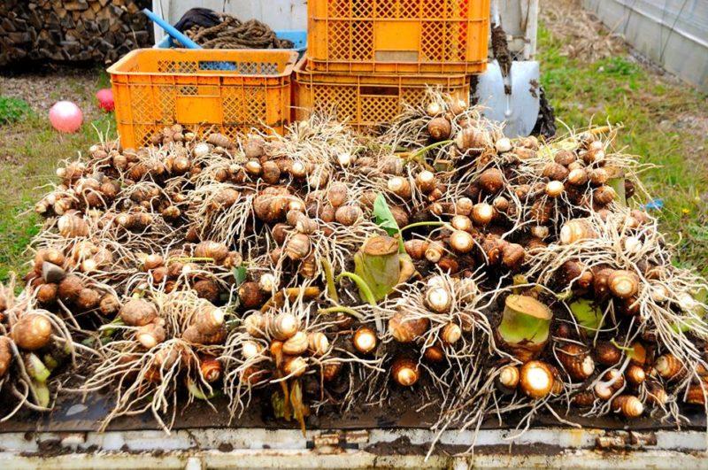 軽トラックに積み込まれた収穫したばかりの里芋