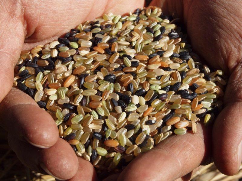 チュトワの古代米 掌の上に乗った黒や黄色のお米