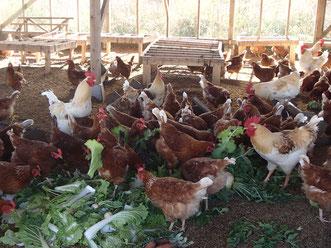 平飼いされているほりぐち農園のたくさんの鶏