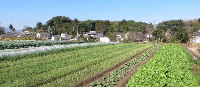 むかし野菜の邑 生育中の野菜が綺麗にならぶ畑の画像