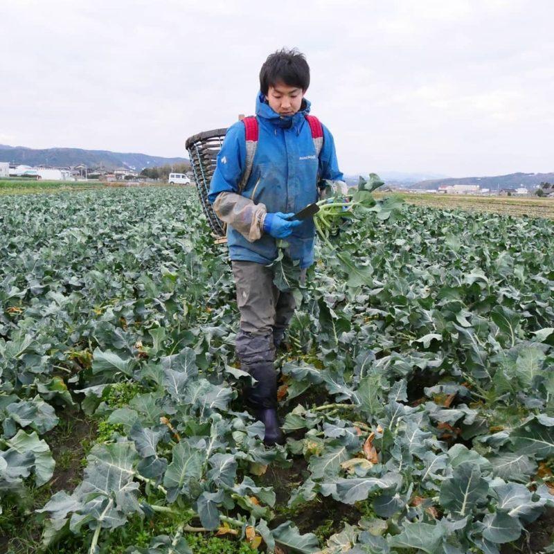 國吉農園ホームページより ブロッコリーの畑でブロッコリーを収穫すす農園主