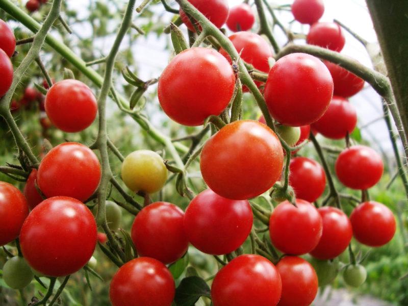 くまっこ農園のミニトマト 美味しそうな真っ赤なトマトが実っている画像